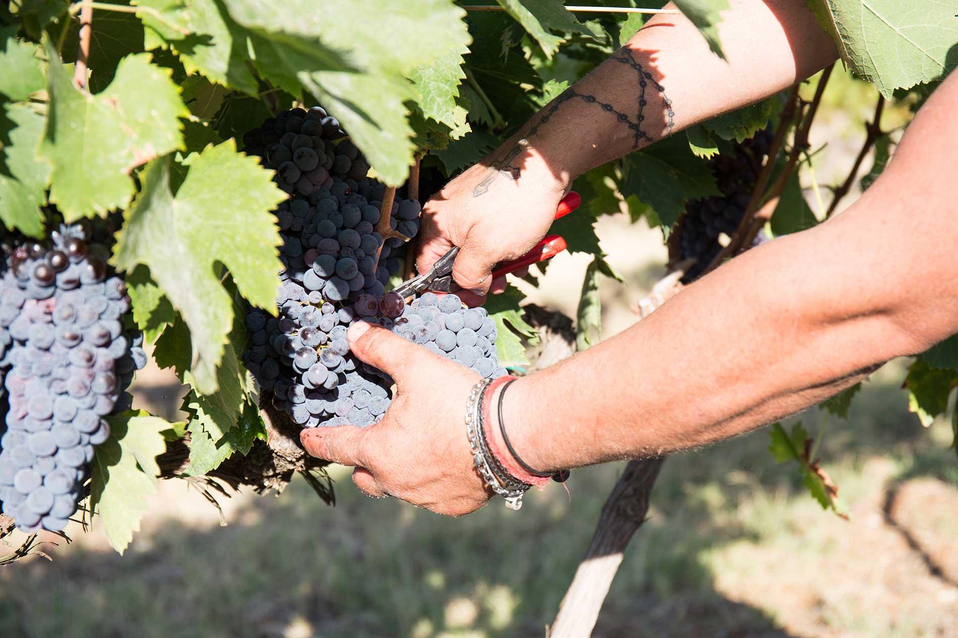 Vendemmia - Raccolta uva - Azienda Agricola Morrone Davide