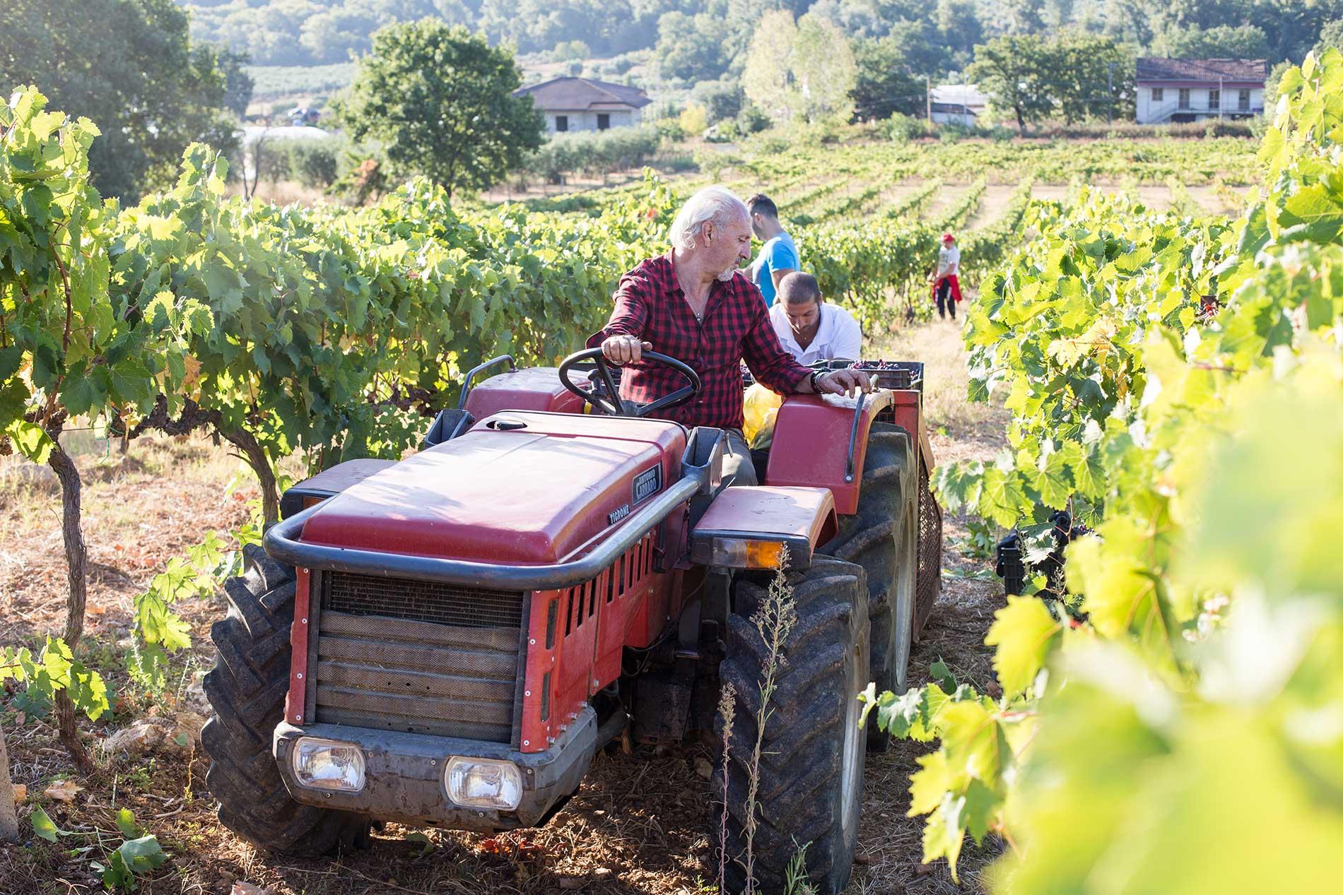 Trattore nel vitigno - Azienda Agricola Morrone Davide