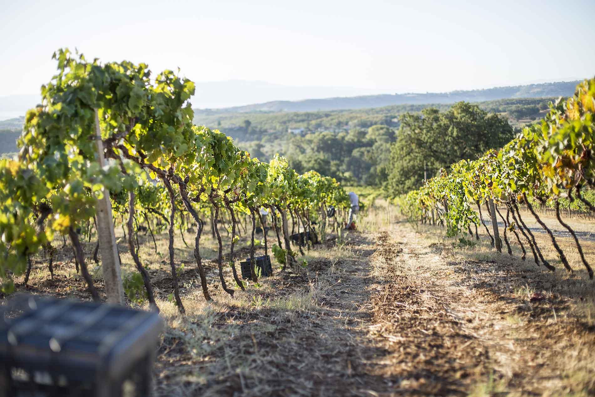 Vigneti Azienda Agricola Davide Morrone - Vino Stragolia